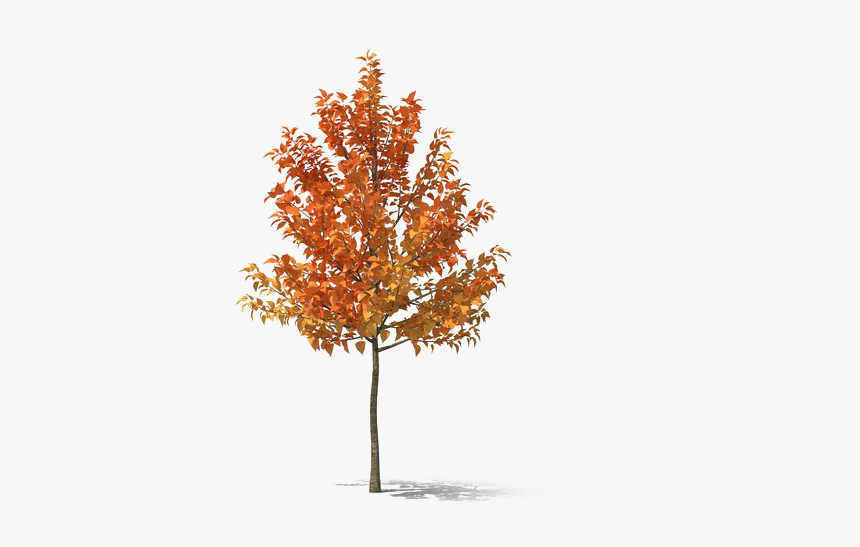 Fall Tree Png Hd - Plane-tree Family, Transparent Png, Free Download