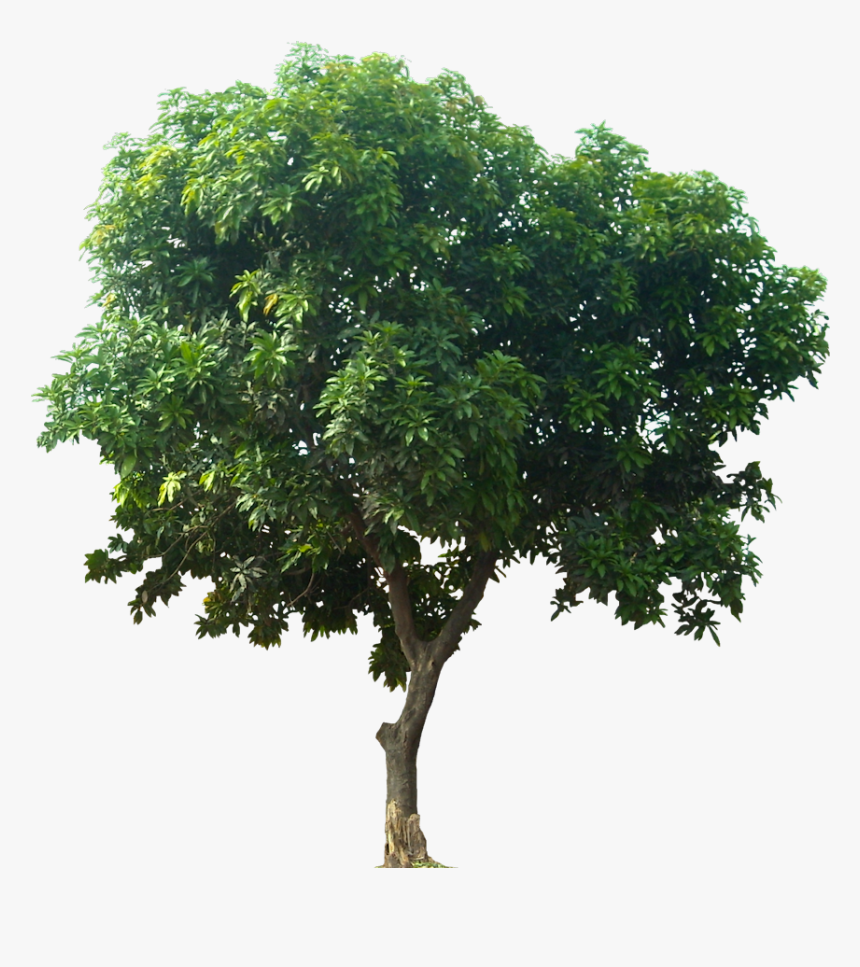 Strong Tree Png - Tree For Architectural Rendering, Transparent Png, Free Download