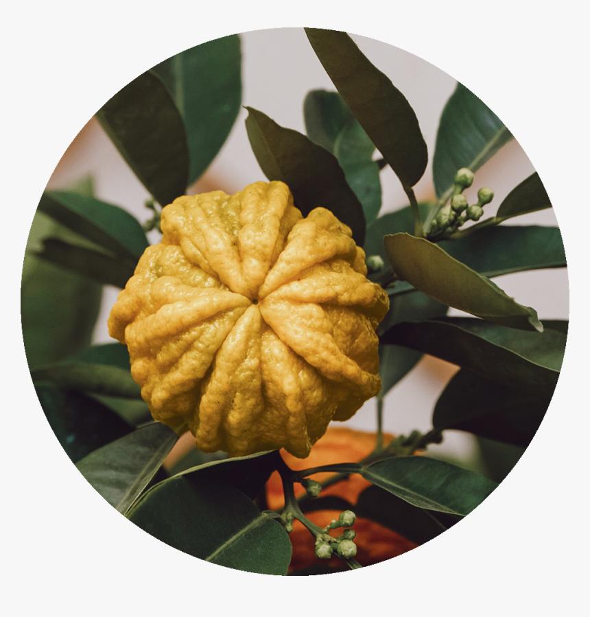 Citrus Aurantium Para Que Serve, HD Png Download, Free Download