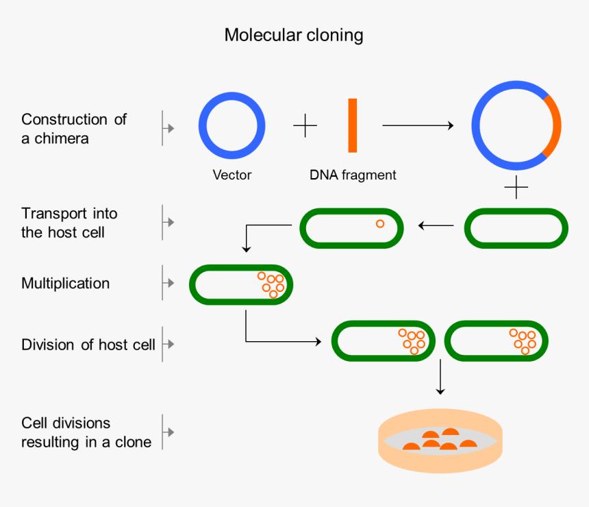 Dna Vector Png -codon Optimization - Klonlanan Genlerden Protein Üretimi, Transparent Png, Free Download