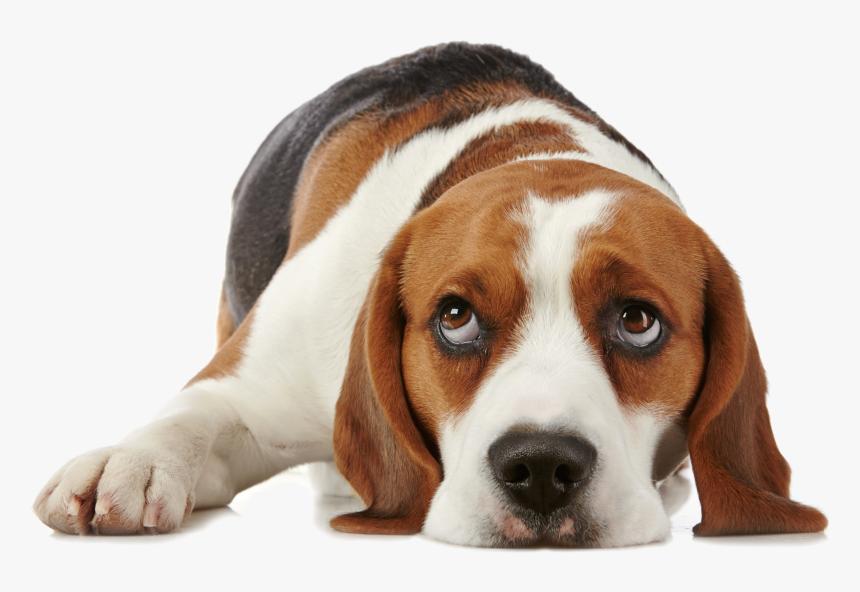 Dog Png For Dogs Allerpet South Africa - Beagle Hound Dog Sleeping, Transparent Png, Free Download