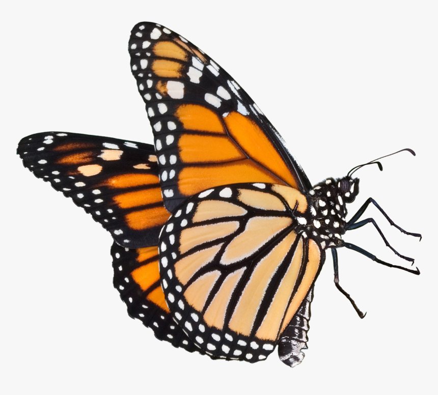 Transparent Butterfly Png Clipart - Monarch Butterfly Png Transparent, Png Download, Free Download