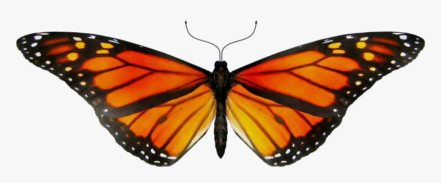 Monarch Butterfly Gif Clip Art Insect - Transparent Monarch Butterfly Gif, HD Png Download, Free Download