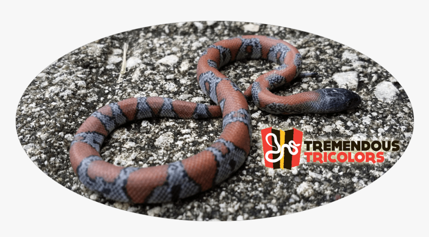 Sonoran Coral Snake, HD Png Download, Free Download