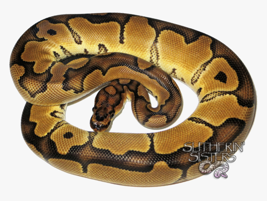 Clip Art Pictures Of Ball Pythons - Serpent, HD Png Download, Free Download