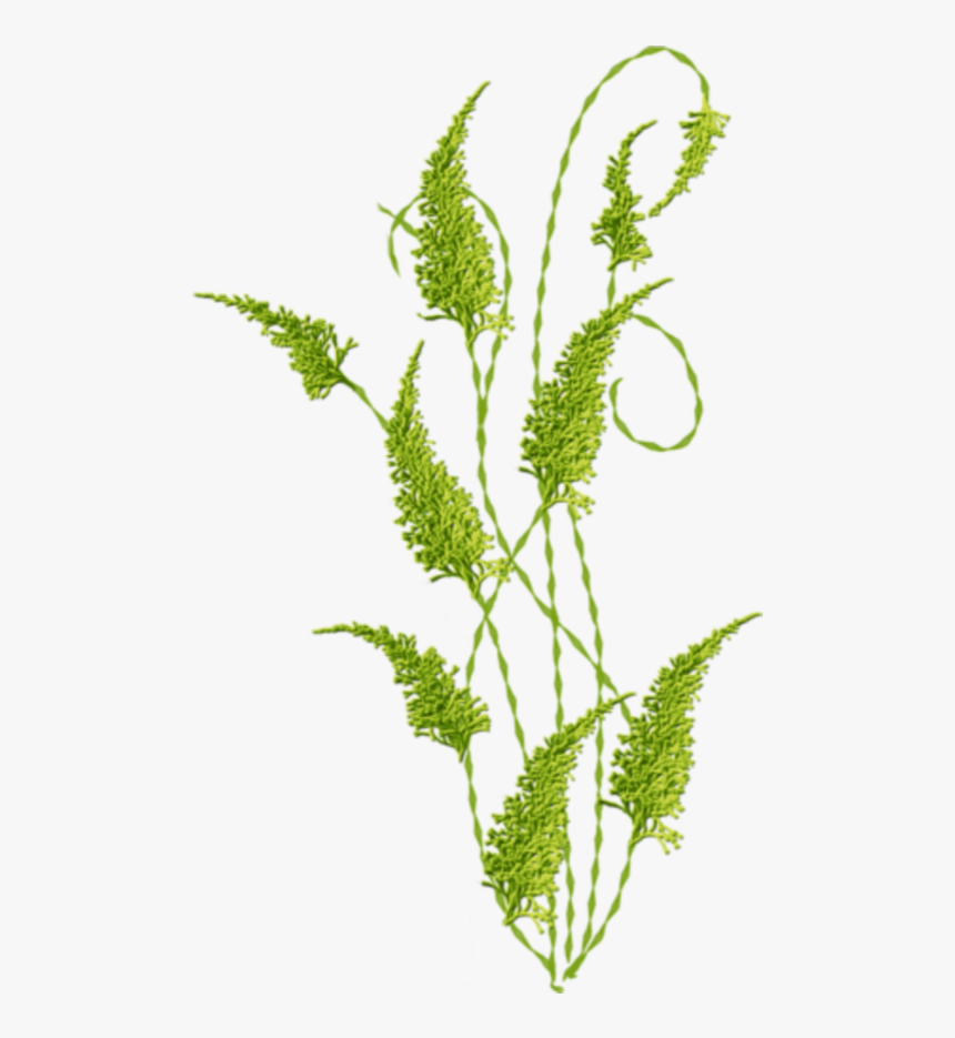 Seaweed, HD Png Download, Free Download