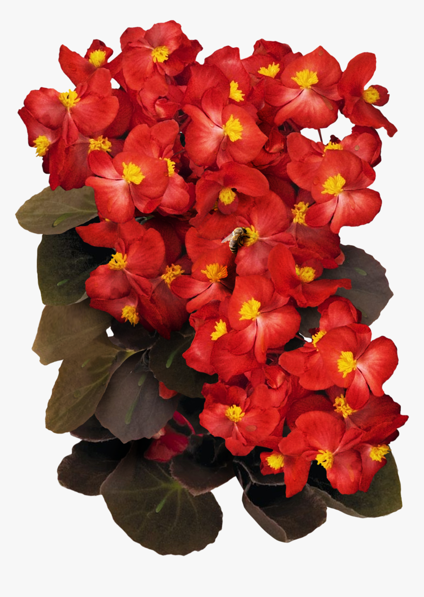 """Red Begonia Seeds For Planting""""  Class=""""lazyload Lazyload, HD Png Download, Free Download"""