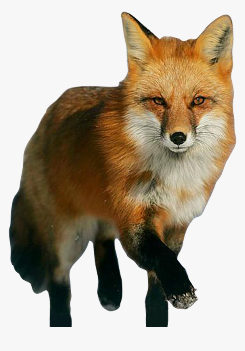 Red Fox Png, Transparent Png, Free Download