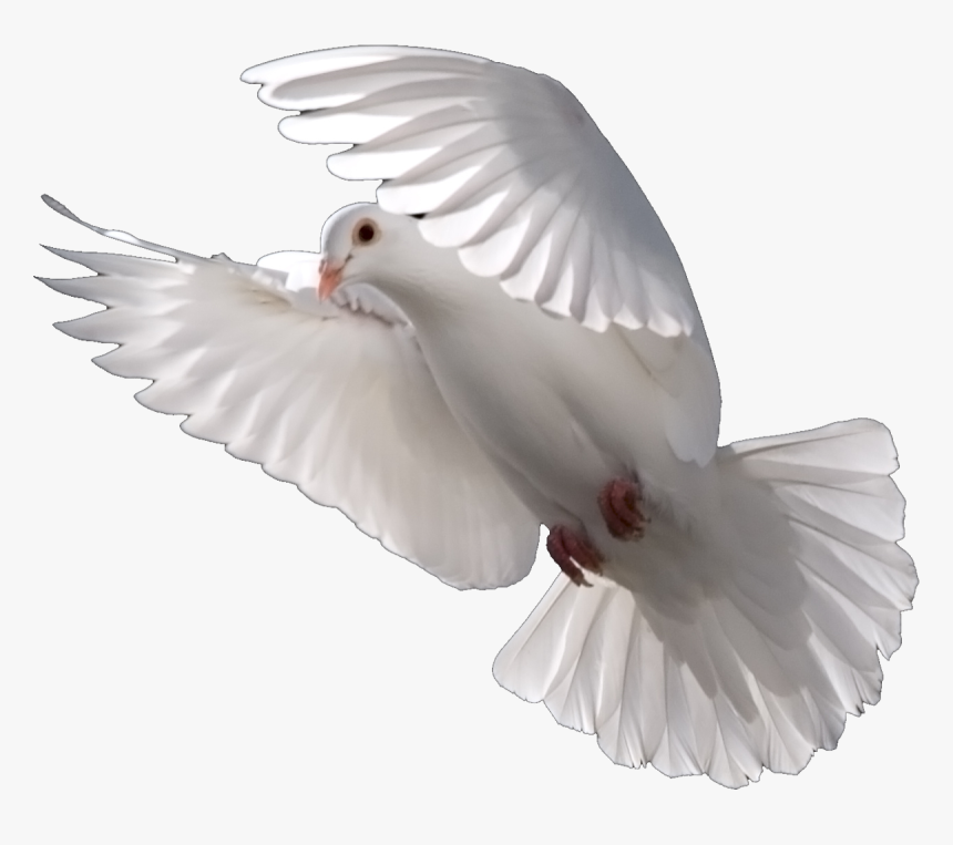 Pigeons And Doves Bird Psd Domestic Pigeon Portable - White Dove, HD Png Download, Free Download