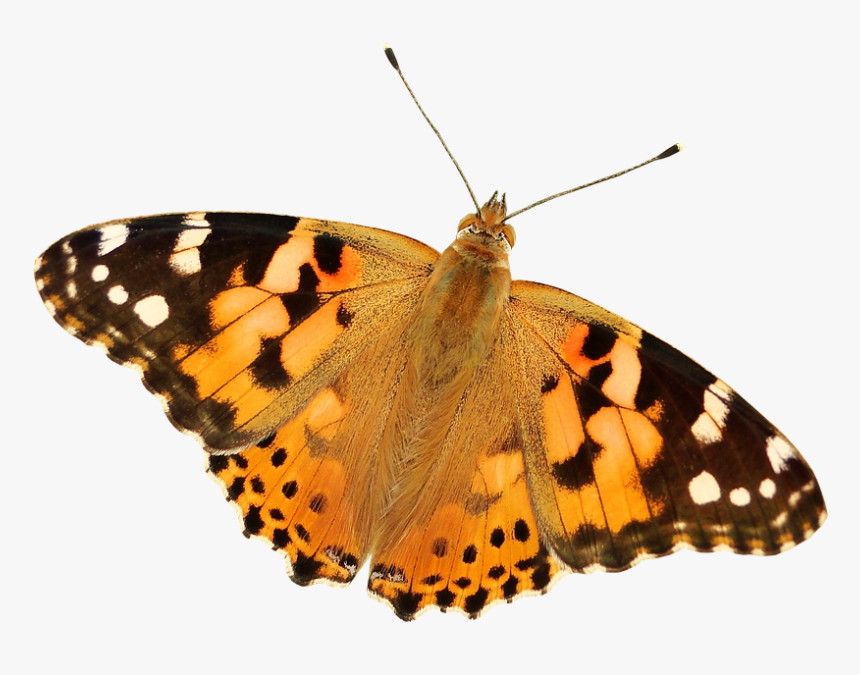 #butterfly #butterflies #butterflys #mariposa #mariposas - Painted Lady Butterfly Transparent, HD Png Download, Free Download