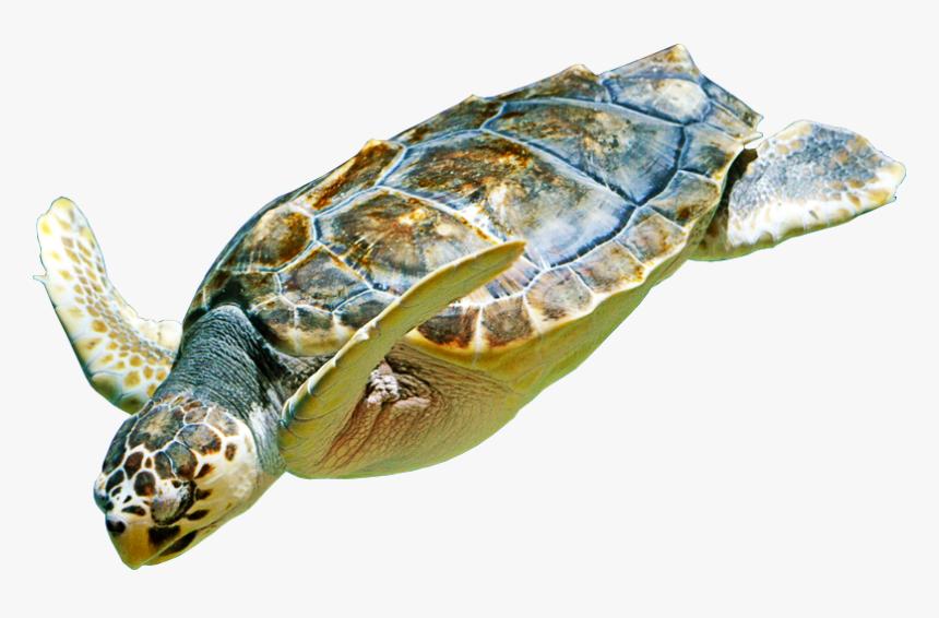 Hawksbill Sea Turtle, HD Png Download, Free Download