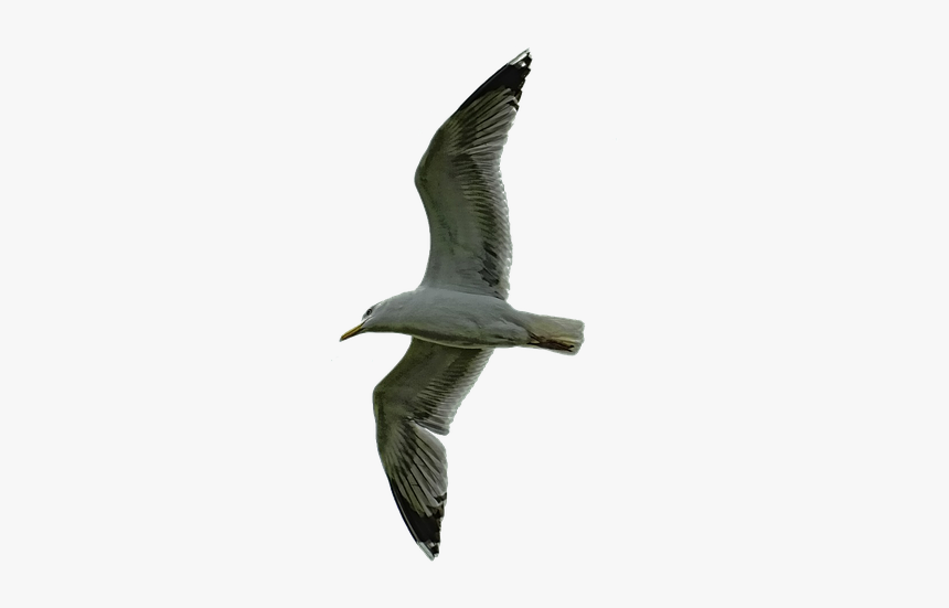 Nature Sky Bird Free Photo - Laughing Gull, HD Png Download, Free Download