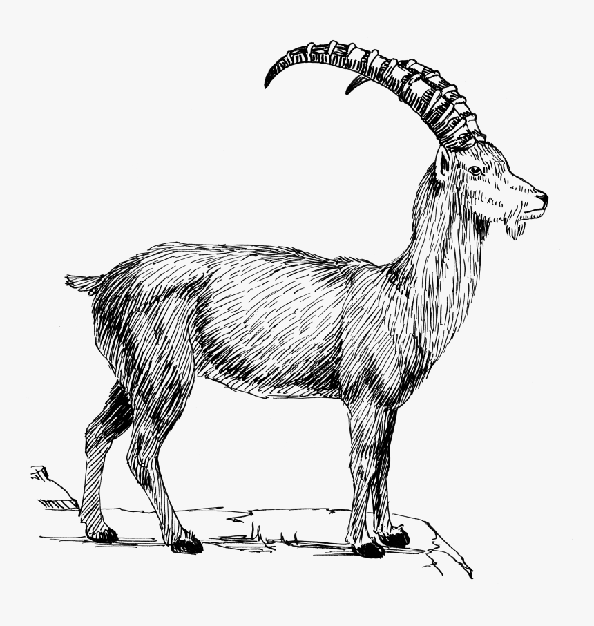 Goat 1 - Mountain Goat Clipart Black And White, HD Png Download, Free Download