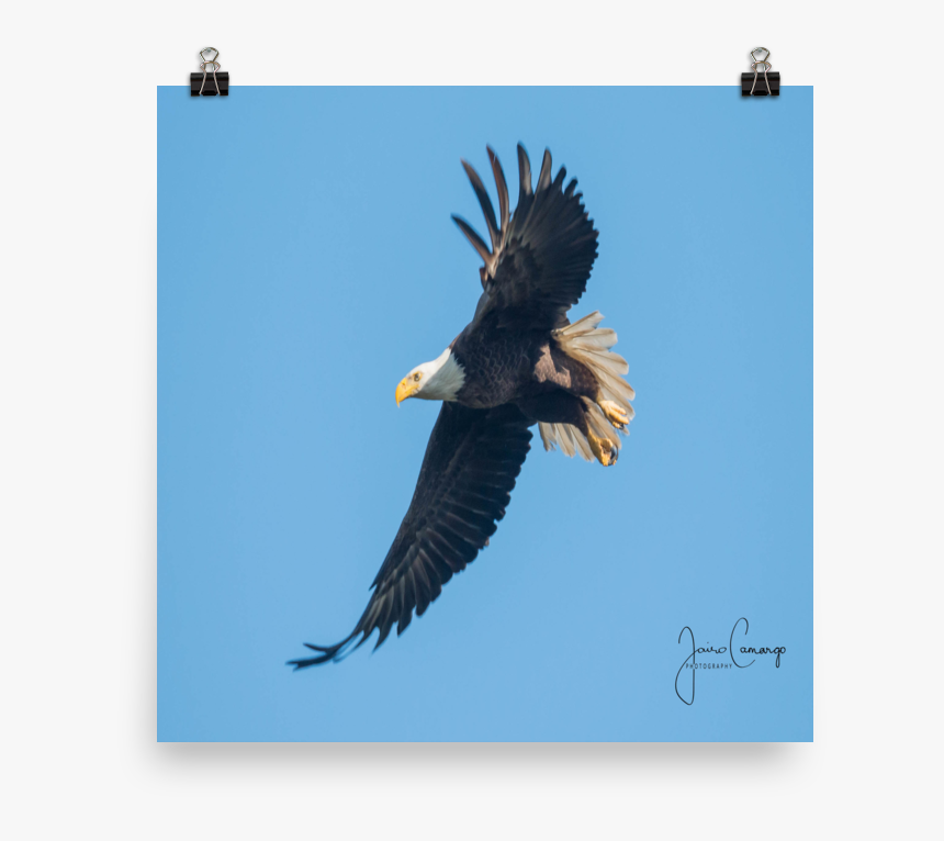 Bald Eagle, HD Png Download, Free Download