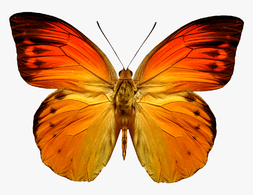 Grab And Download Butterfly Png Picture - Red And Orange Butterflies, Transparent Png, Free Download