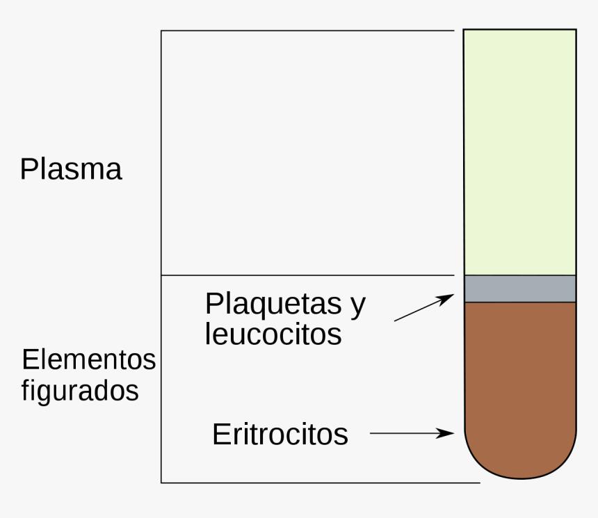 Percentage Of Leukocytes Erythrocytes, HD Png Download, Free Download