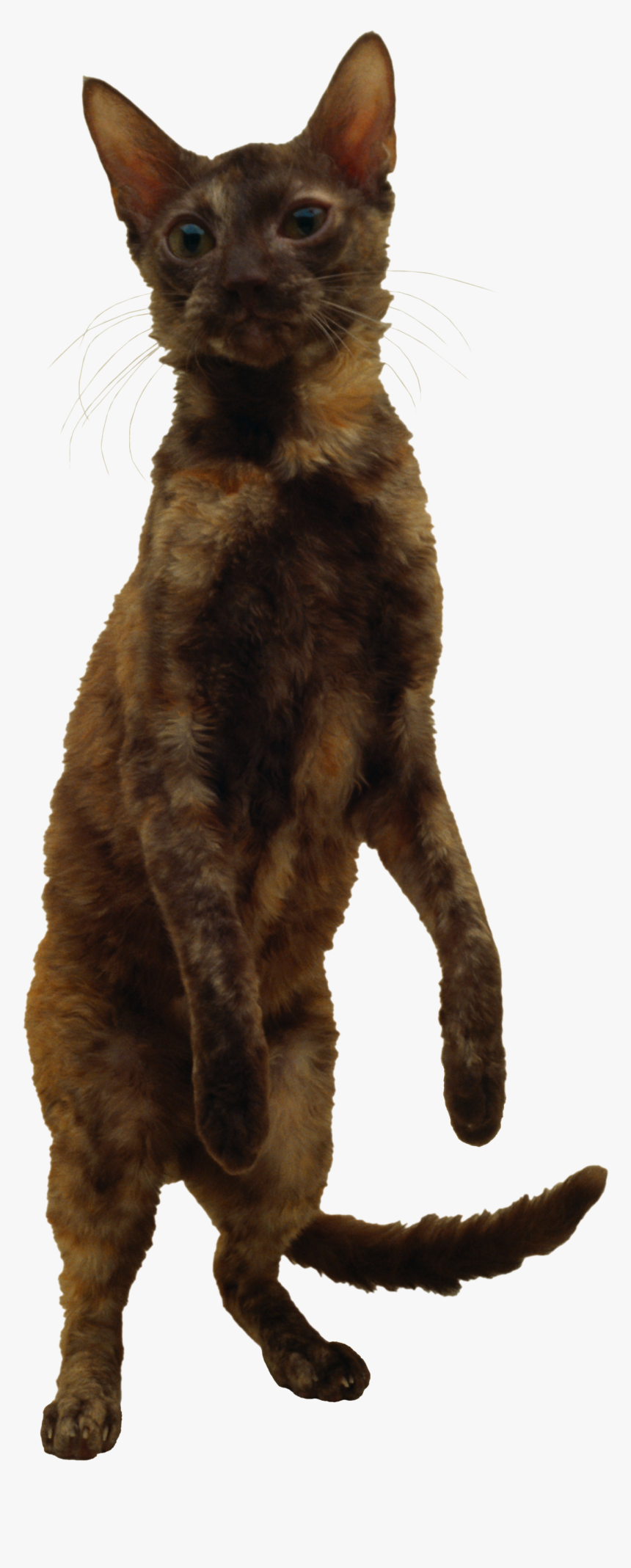Cat Png - German Rex Png, Transparent Png, Free Download