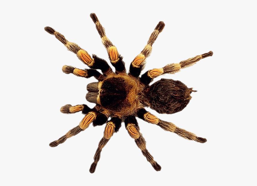 Spider Png, Transparent Png, Free Download