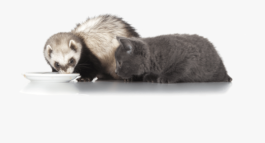 Ferrets Are Animals - Sea Otter, HD Png Download, Free Download