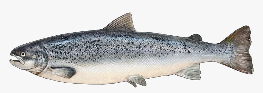 Trout Clipart Oily Fish - Salmon Fish Png, Transparent Png, Free Download