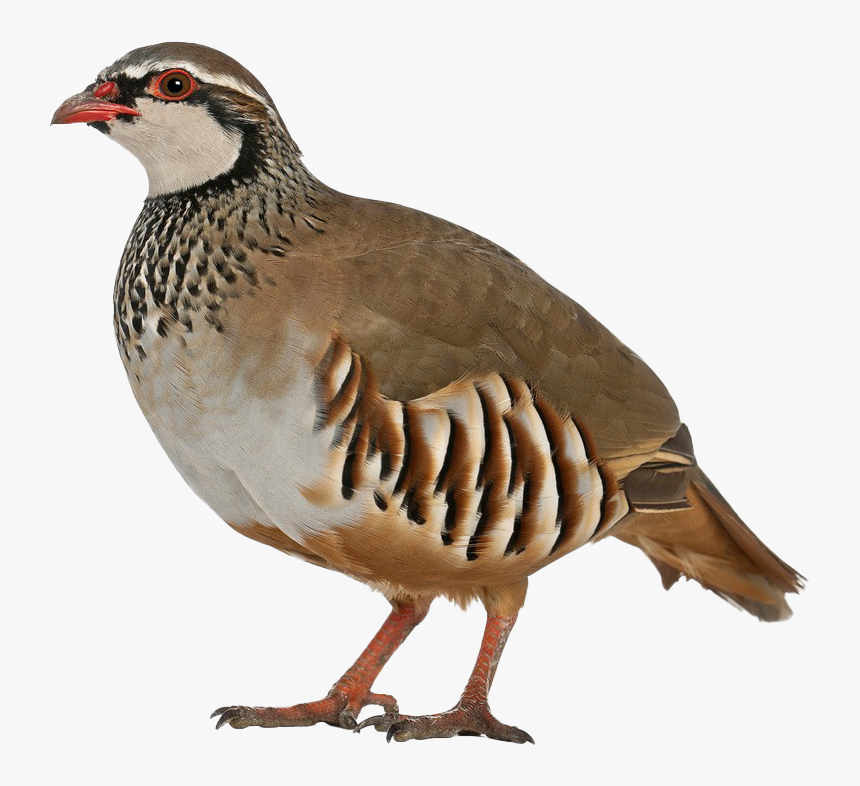 Partridge Background Png - Partridge White Background, Transparent Png, Free Download