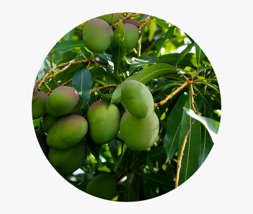Tree - Mango Tree, HD Png Download, Free Download