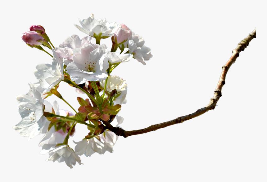 Transparent Cherry Blossom Petals Falling Png - Miroslav Dolenec Dravski Moja Podravina, Png Download, Free Download