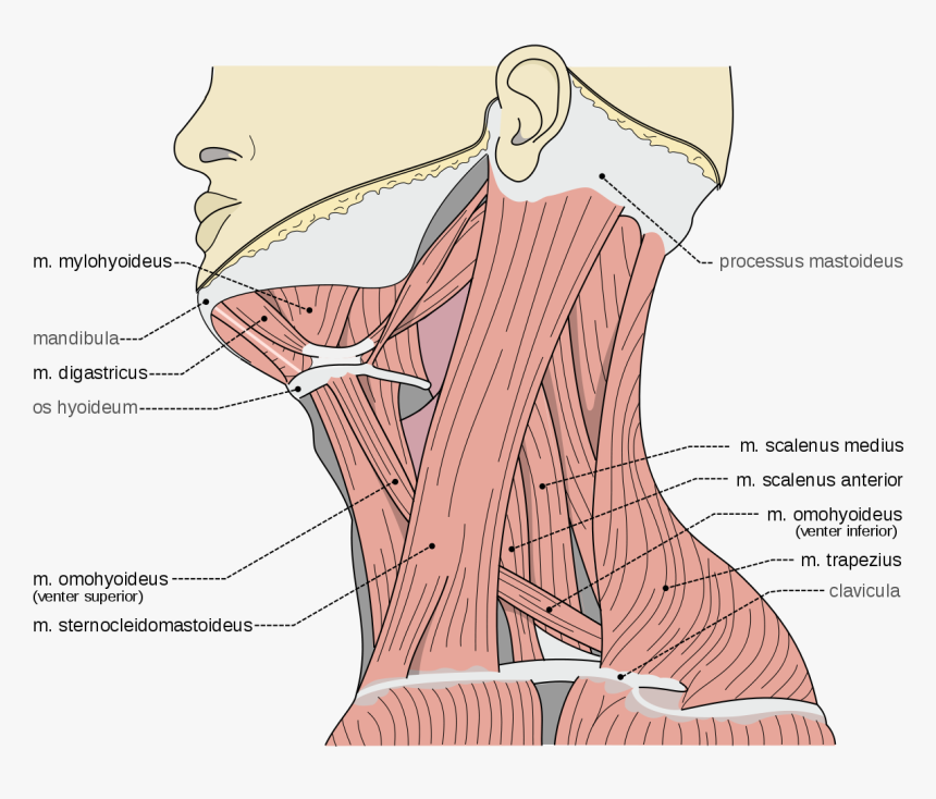 Neck Scalene Muscles, HD Png Download, Free Download