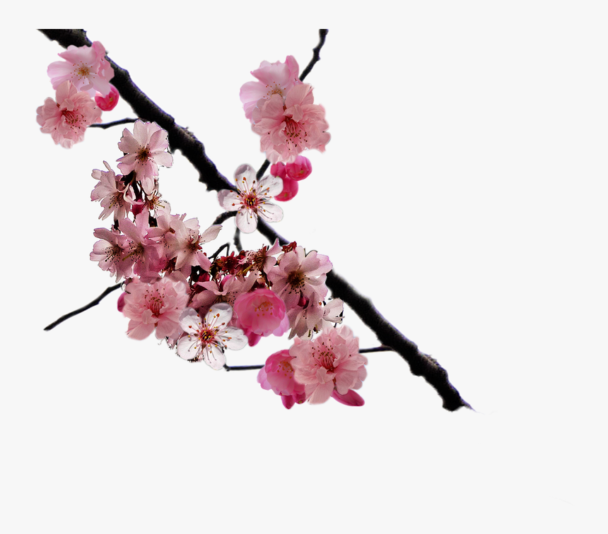 Cherry Blossom Branch Png By Doloresminette - Real Cherry Blossoms Png, Transparent Png, Free Download