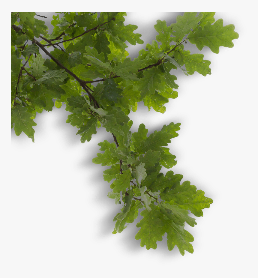 Tree Branch Overlay - Free Tree Branch Overlays, HD Png Download, Free Download