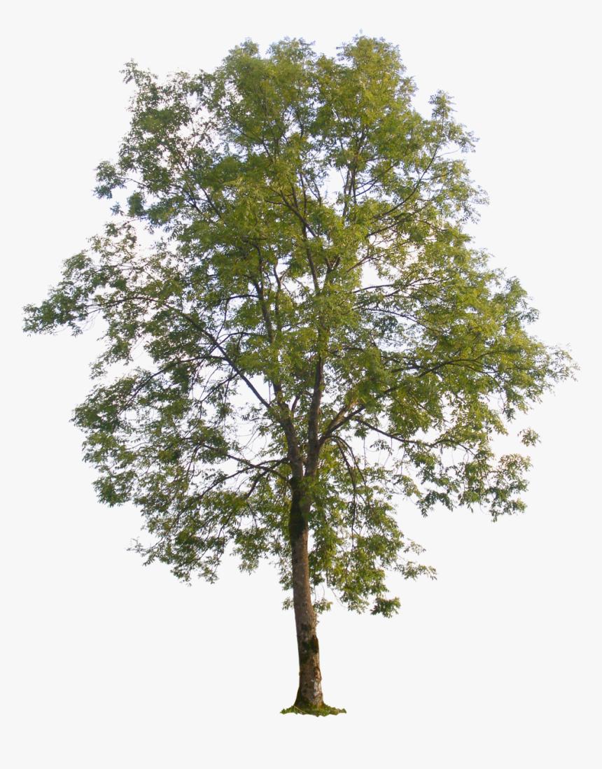 Poplar Tree Transparent Background, HD Png Download, Free Download