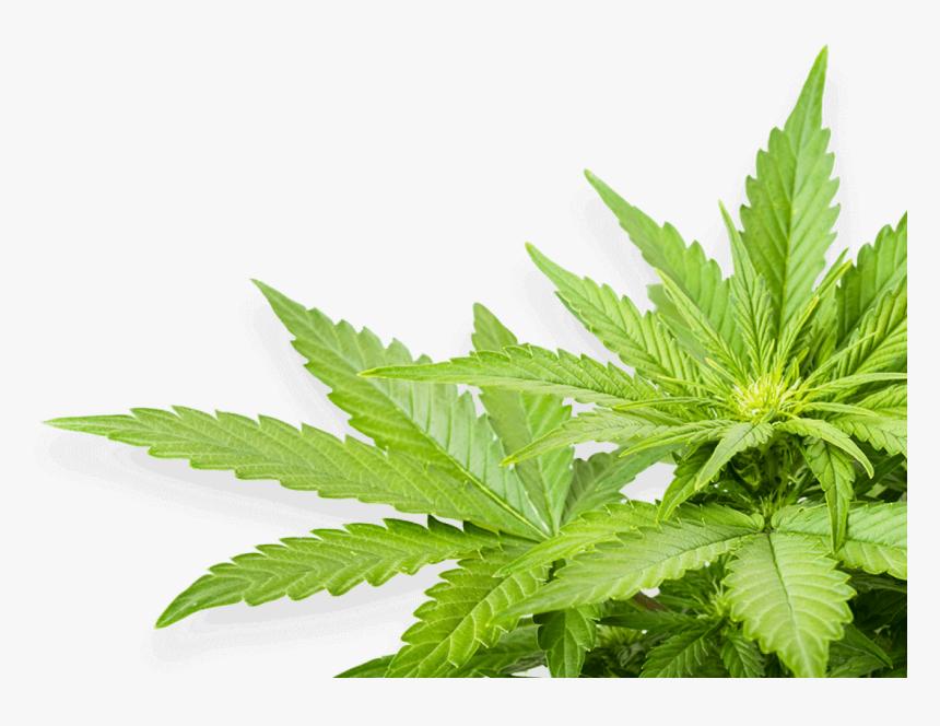 Real Marijuana Leaf Png, Transparent Png, Free Download
