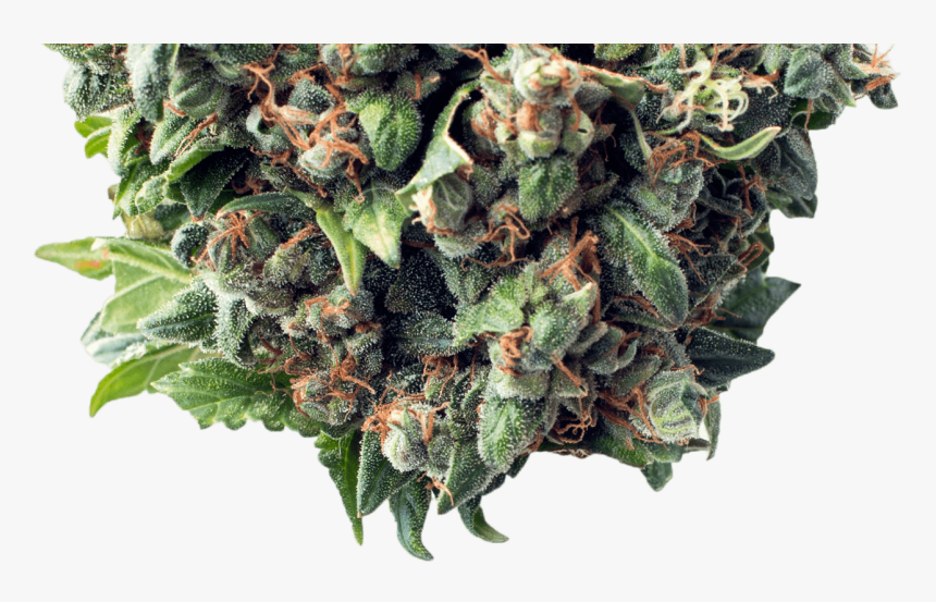 Bud - Critical Autoflower, HD Png Download, Free Download