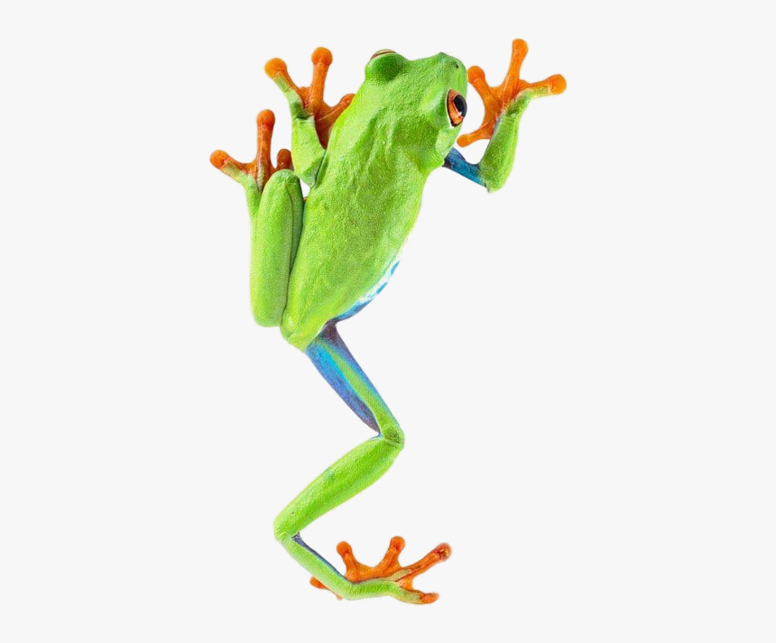 Red Eyed Tree Frog Climbing, HD Png Download, Free Download