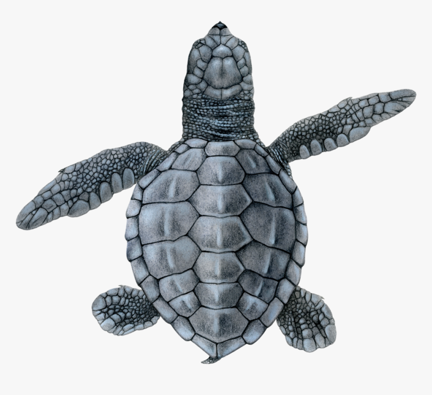 Olive Ridley Hatchling - Hawksbill Sea Turtle, HD Png Download, Free Download