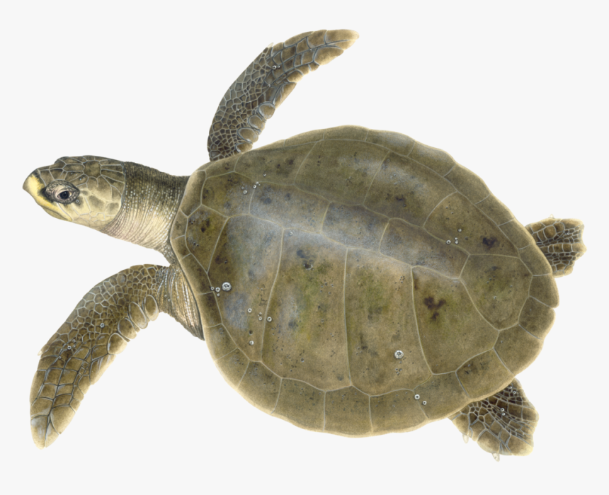 Adult Kemp's Ridley Illustration © Dawn Witherington - Kemp's Ridley Sea Turtle, HD Png Download, Free Download