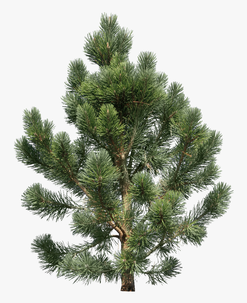 Fir Tree - Transparent Png Pine Tree, Png Download, Free Download