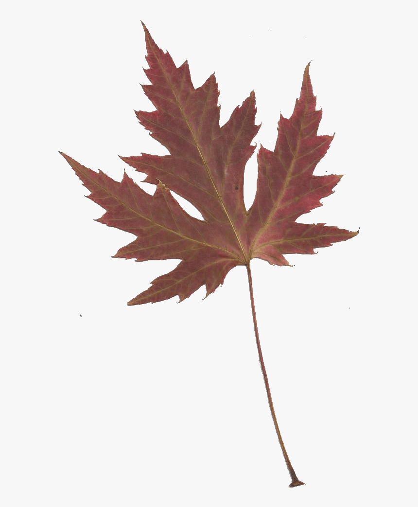 Japanese Maple Clipart No Background Japanese Maple Leaves Transparent Background Hd Png Download Kindpng
