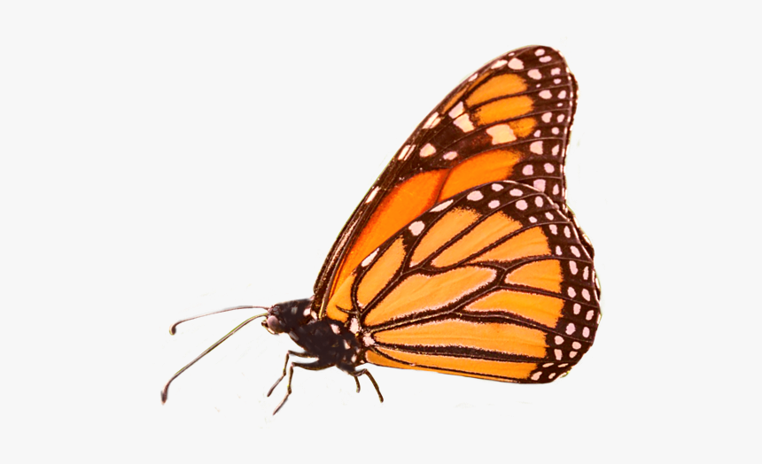 #butterfly #butterflies #butterflys #bug #insect #insects - Monarch Butterfly, HD Png Download, Free Download