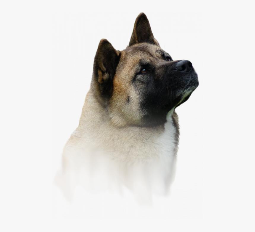 Akita Amerykańska / Hodowla Amartami Fci - Companion Dog, HD Png Download, Free Download