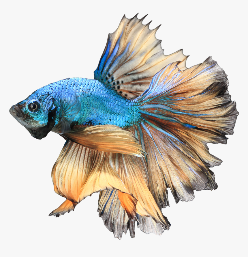 Realistic Betta Fish Drawing, HD Png Download, Free Download
