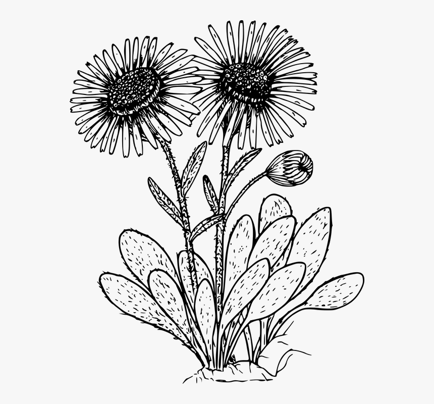 Flower, Plant, Wild, Wildflower - Daisy Plant Black And White, HD Png Download, Free Download