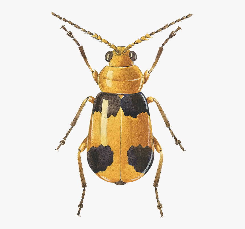 Collection Managed To Iso - Longhorn Beetle, HD Png Download, Free Download