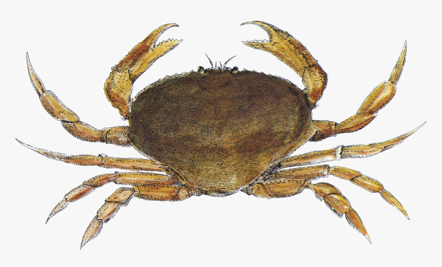 Crab Santa Monica Seafood Seafood Guide - Dungeness Crab, HD Png Download, Free Download