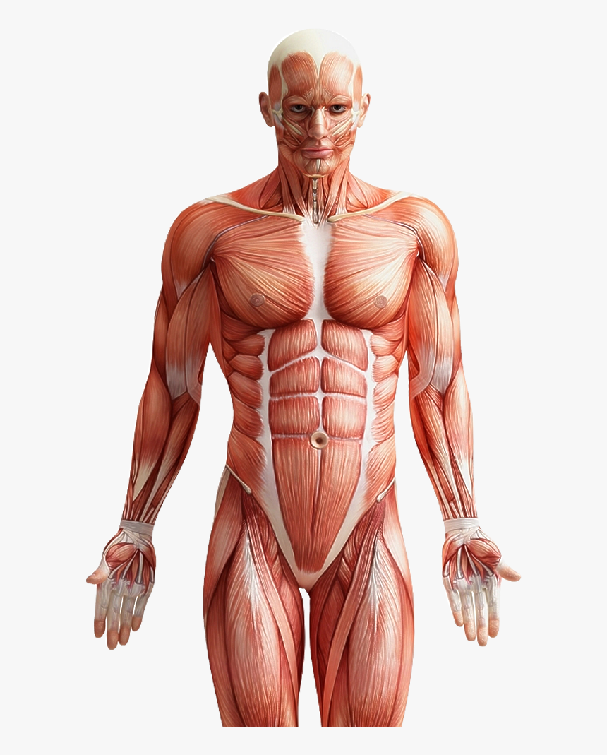 Roblox Transparent Six Pack Muscle Fibers In Men Png Download Six Pack Abs Anatomy Transparent Png Kindpng