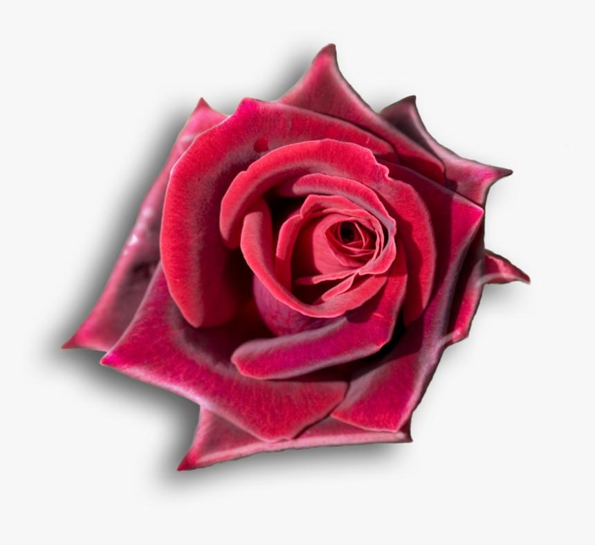 Rojo, Rosas Rojas, Flores, Rosas Hermosas, Girasoles, - Deep Red Rose, HD Png Download, Free Download