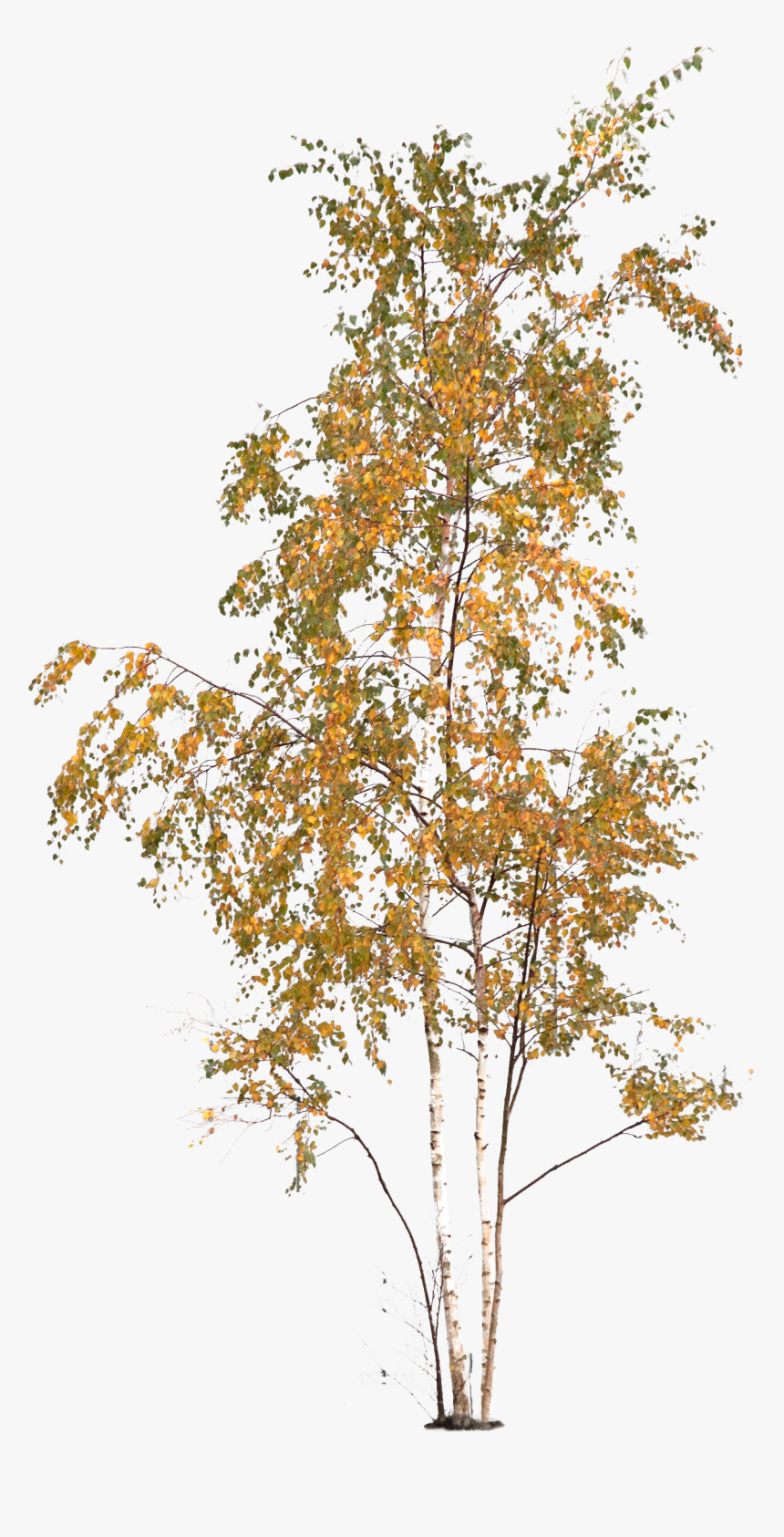 Plane-tree Family, HD Png Download, Free Download