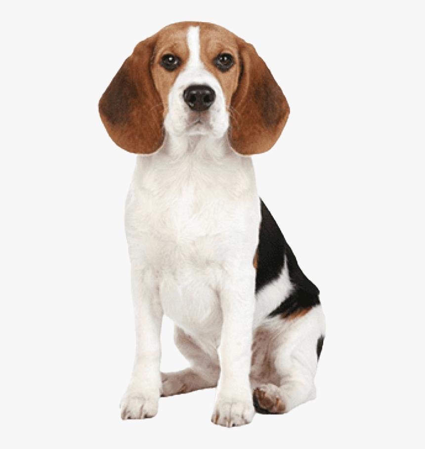 Beagle Dog Png Image - Beagle Dog Nose, Transparent Png, Free Download