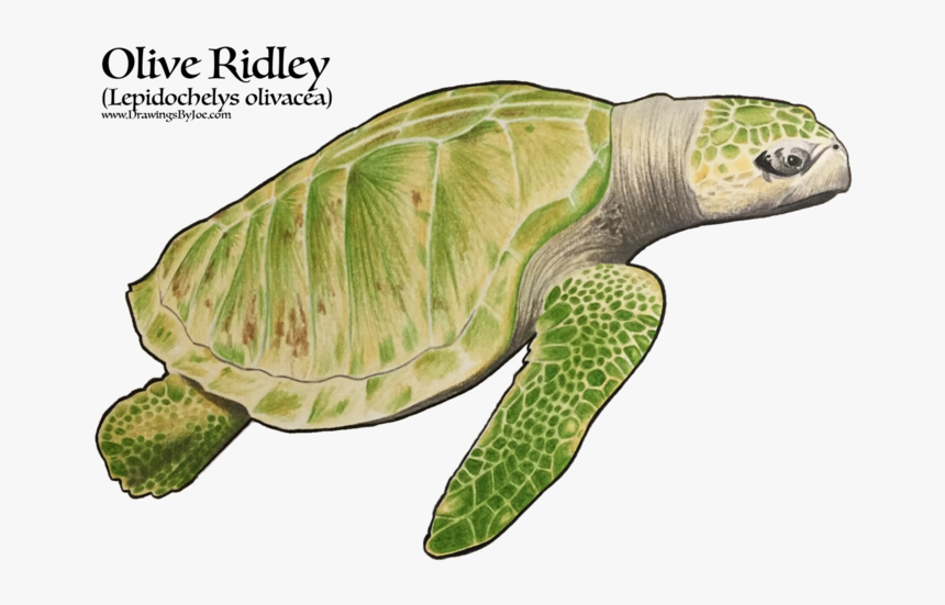 Ridley Sea Turtles, HD Png Download, Free Download