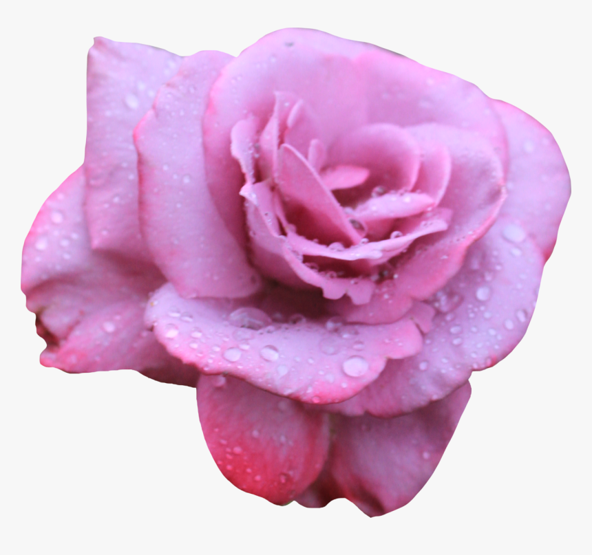 Rose, HD Png Download, Free Download